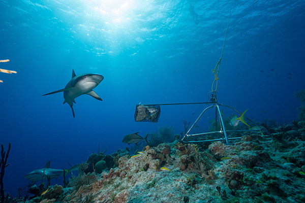 Caribbean reef shark and baited remote underwater video system, captured in the Bahamas. Photo credit: Andy Mann/Global FinPrint