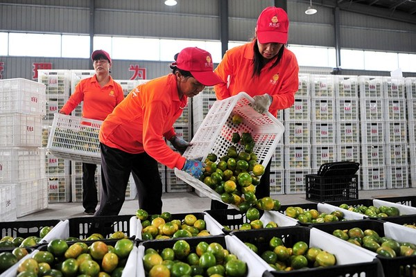 Workers pack export-bound citrus fruits in Yichang, Hubei province. [Photo by Zhang Guorong for China Daily]