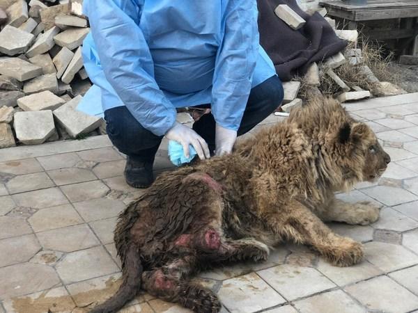 ロシアで虐待されたライオンの子ども、7カ月のリハビリ後にアフリカ野生保護区へ飛び立つ
