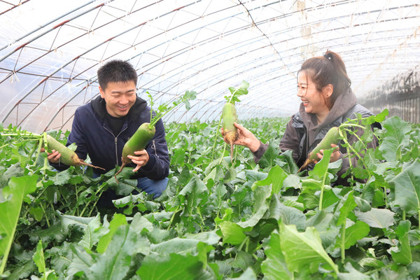 North China's Tianjin Shawo Fruit Radish Celebrates Harvesting Season