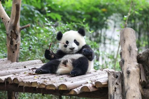 Chengdu: A must-visit destination for panda fans