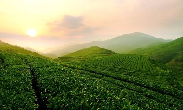 八马茶业生态茶园
