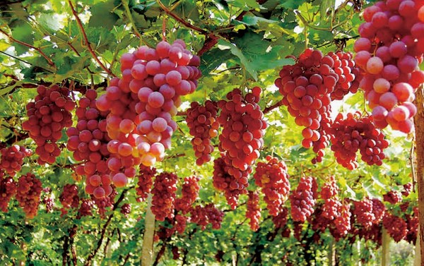 Wuhai grapes gain favor at the China International Agricultural Products Fair