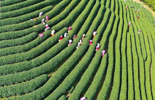 """""""传承茶文化、健康进万家"""",2021杭州茶博会将于3月26日开启"""