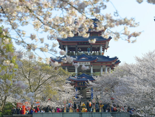 Cherry blossoms in in Turtle Head Park, Wuxi City, China