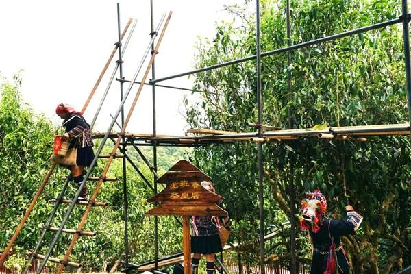 信记号年份普洱茶 四大产地茶王树保护及开采:老班章站