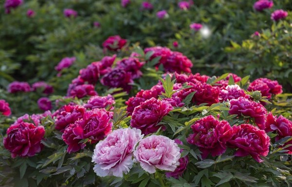 Ornamental peonies in Heze