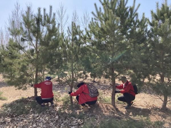 养乐多志愿者为樟子松修枝助力茁壮成长