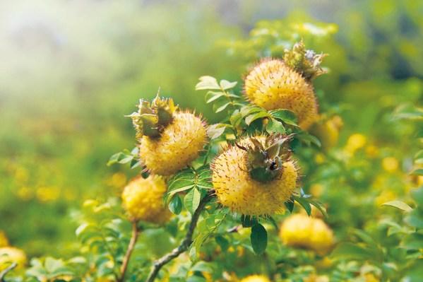 广药集团李楚源:让刺梨不再只是荒野间的野果子
