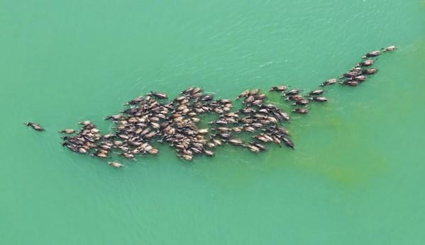 Một đàn gia súc băng qua sông Gia Lăng hướng tới một hòn đảo để ăn cỏ vào ngày 30/04. Cảnh tượng ngoạn mục này lặp lại hàng ngày trong khoảng thời gian từ tháng 4 đến tháng 10 ở quận Bành An, tỉnh Tứ Xuyên.