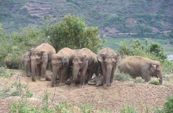 Xinhua Silk Road - 중국, 이동 중인 코끼리 떼 보호