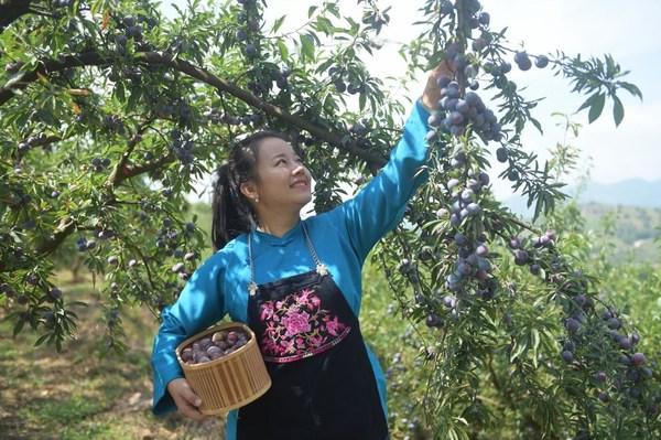 Sebuah foto yang menunjukkan petani lokal ketika memetik plum mutiara di Tian'e, Wilayah Otonom Guangxi Zhuang, Tiongkok Selatan.