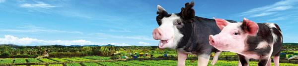「香港家豬」劉漢傑創新豬品種「太極黑豚」