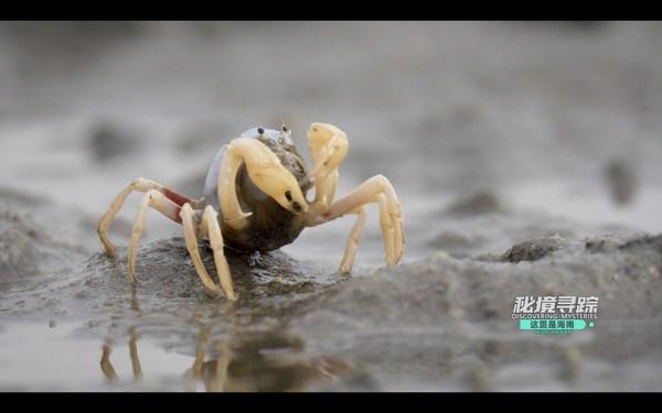 中国海南島憺州湾の干潟にいる兵隊ガニ(動画のスクリーンショット)