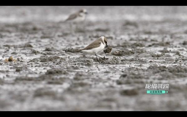 中国海南島憺州湾の干潟で兵隊ガニを捕まえるメダイチドリ(動画のスクリーンショット)