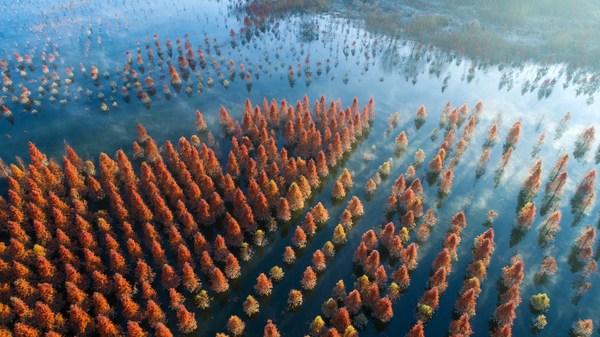 照片拍摄于2019年1月5日,图中展示的是中国西南部云南省省会昆明盘龙区甸尾村的水杉湿地。