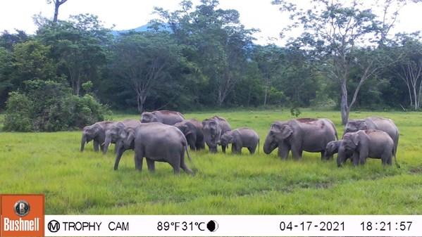 Bajrasudha Gajanurak: A Royal Elixir to Strengthen Thailand's Wild Elephants